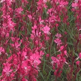 Gaura Red Color – Gaura Rouge