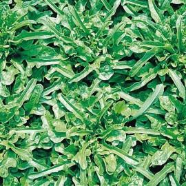 Feuille de Chêne Verte Berenice
