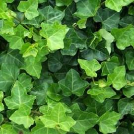 Hedera Helix Hibernica – Lierre vert