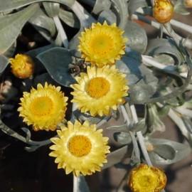 Helichrysum Argyrophyllum – Immortelle
