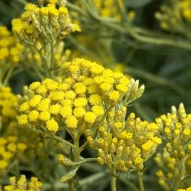 Helichrysum Italicum Angustifolium – Immortelle