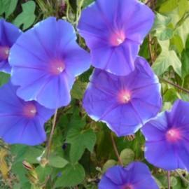 Ipomea – Liseron bleu