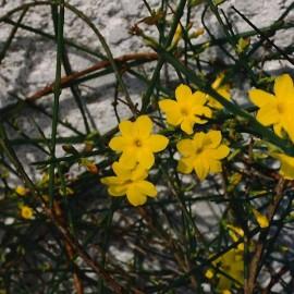 Jasminum Nudiflorum – Jasmin d'hiver