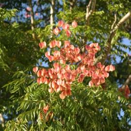 Koelreuteria Paniculata – Savonnier