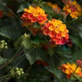 Lantana Hybrida Orange Carpet – Lantana orange