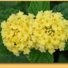 Lantana Hybrida Jaune citron – Lantana jaune