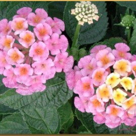 Lantana Hybrida Rose Soutenu – Lantana rose
