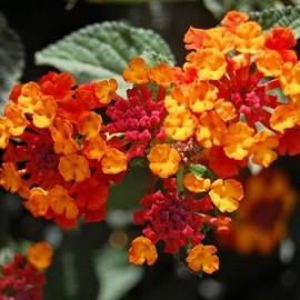 Lantana Hybrida brasier – Lantana rose et jaune