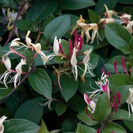 Lonicera japonica Chinensis – Chèvrefeuille rose