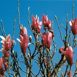 Magnolia Obovata Purpurea – Magnolia à fleur