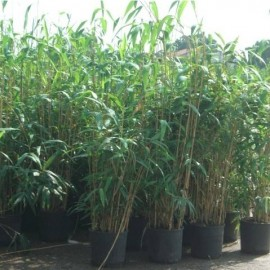 phyllostachys Metake – Bambou