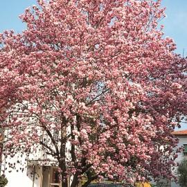 Magnolia x Soulangeana – Magnolia de Soulange