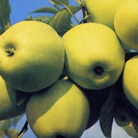 Malus Domestica Golden Delicious – Pommiers Golden
