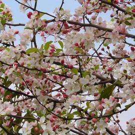 Malus Evereste – Pommiers à fleurs