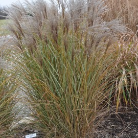 Miscanthus sinensis Morning Light – Roseau de Chine argente