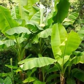 Musa Basjoo (Japonica) – Bananier