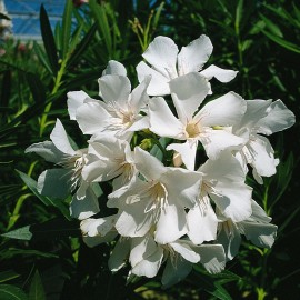 Nerium Oleander sœur agnes blanc simple – Laurier Rose