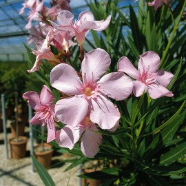 Nerium Oleander grandiflorum rose simple – Laurier Rose