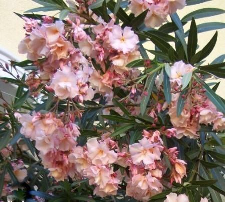 Nerium Oleander  Provence saumon triple – Laurier Rose