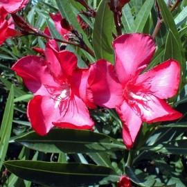 Nerium Oleander commandant barthélémy rouge double – Laurier Rose