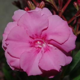 Nerium Oleander Mme Allen rose double – Laurier Rose