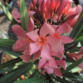 Nerium Oleander tito poggi Saumon simple – Laurier Rose