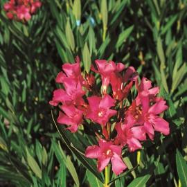 Nerium Oleander Papa Gambetta Rouge simple – Laurier Rose
