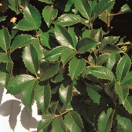 Osmanthus Aquifolium – Faux houx