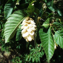 Ostrya Carpinifolia – Charme Houblon