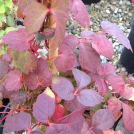 Parthenocissus Tricus Veitchi – Vigne Vierge