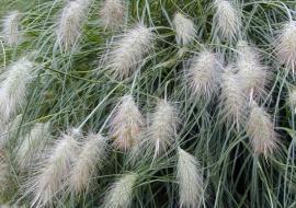 Pennisetum Alopecuroides Villosum – Herbe aux écuvillons