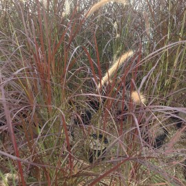 Pennisetum Setaceum Rubrum – Herbe aux écuvillons pourpre