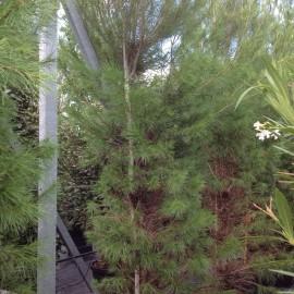 Pinus Halepensis – Pin d'Alep