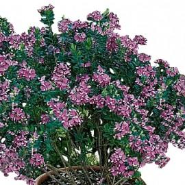 Polygala Myrtifolia – Polygale à feuilles de Myrthe