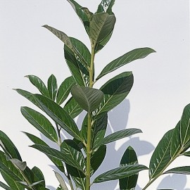 Prunus Laurocerasus Caucasica – Laurier du Caucase