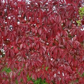 Parthenocissus Quinquefolia – Vigne Vierge