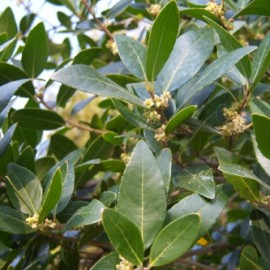 Phillyrea Angustifolia – Filaire