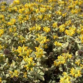 Phlomis Fruticosa – Sauge de Jérusalem