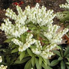 Pieris japonica Andromeda – Andromède