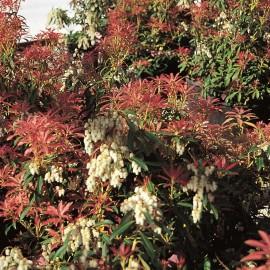 Pieris Floribunda Forest Flame – Andromède