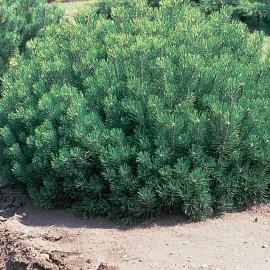 Pinus Mugo – Pin Mugo nain