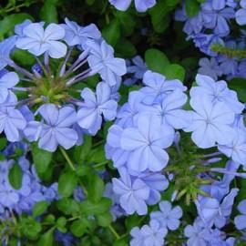 Plumbago Capensis Bleu Foncé – Plumbago du Cap