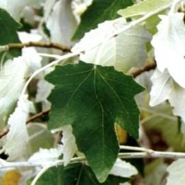 Populus Alba «nivea» – Peuplier Blanc
