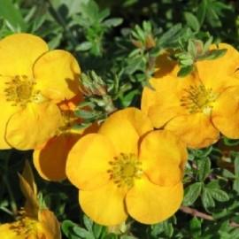 Potentille Fruticosa Tangerine – Potentille orange
