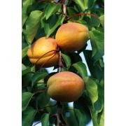 Prunus Arméniaca Bergeron – Abricotier Bergeron