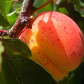 Prunus Arméniaca Orange de provence – Abricotier oranger