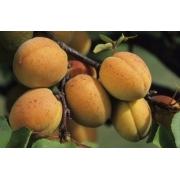 Prunus Arméniaca Polonais – abricotier Polonais