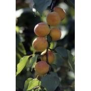 Prunus Arméniaca Rouge du roussillon – Abricotier Rouge du Roussillon