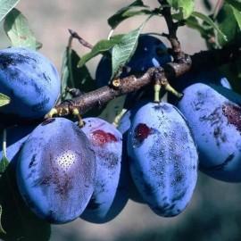 Prunus Domestica Quetsche d'Alsace – Pruniers Quetche