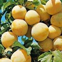 Prunus Domestica Reine Claude Oullins – Pruniers Reine claude oullins